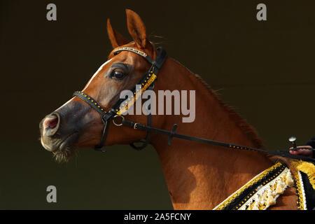 Vollblutaraber Pferd, Porträt einer bay Mare mit Schmuck Gebiß in dunklen Hintergrund - Stockfoto