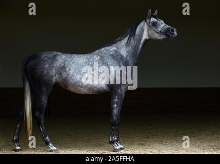 1001 Dressurpferd, Portrait eines dapple Grey Mare mit Zaum in dunklen Hintergrund - Stockfoto