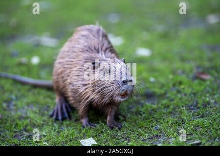 Junge nutrias Nutria (Myocastor) im Gras am Flussufer. Nagetier auch nutria genannt. Wildlife Szene - Stockfoto