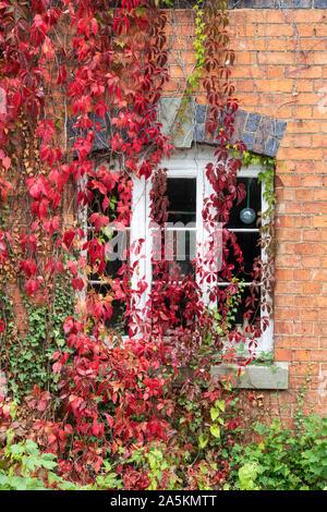 Parthenocissus Subtomentosa. Virginia Creeper/amerikanischen Ivy für ein rotes Backsteinhaus in der Burmington, Warwickshire, Großbritannien - Stockfoto