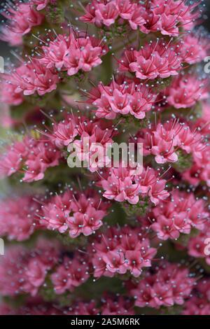 Blüten der Stolz von Madeira an der Berliner Botanische Garten - Stockfoto