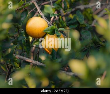 Orangen auf Orange Tree in Florida
