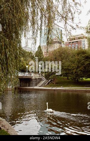 Schwan auf einem Teich an der Boston Public Garden in der Back Bay Viertel von Boston, Massachusetts. - Stockfoto