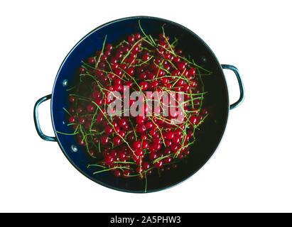 Rote Johannisbeeren in einem blauen Sieb auf einem weißen Hintergrund. Rote Johannisbeere Beeren reif. Nähe zu sehen. - Stockfoto