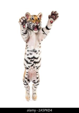 Zwei Monate alten Tiger Cub, der sich gegen die weißen Hintergrund - Stockfoto