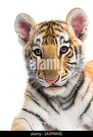 Close-up auf einem 2 Monate alten Tiger Cub vor weißem Hintergrund - Stockfoto