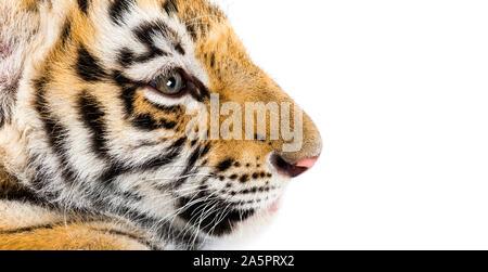 Nahaufnahme von, zwei Monate alten Tiger Cub vor weißem Hintergrund - Stockfoto