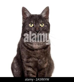 Gemischt - Rasse Hauskatze vor weißem Hintergrund - Stockfoto