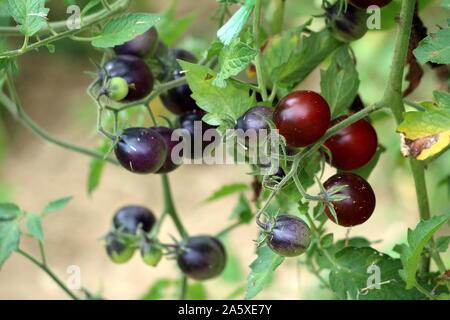 Bündel reif Reif für die Ernte indigo Rose kleine dunkle Kirsche Tomaten wachsen von mehreren Weinreben in lokalen städtischen Garten auf warmen sonnigen Sommertag - Stockfoto