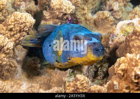 Diese schwarz gefleckt Puffer, Arothron nigropunctatus, ruht auf einem Korallenriff vor der Insel Yap in Mikronesien. - Stockfoto