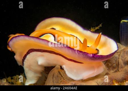 Diese dorid Nacktschnecken, Chromodoris Coi, war früher als Doris coi, Philippinen bekannt. - Stockfoto