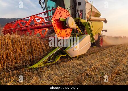 Die ökologische Landwirtschaft, Weizen, Ernte, Mähdrescher am Abend - Stockfoto