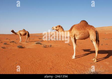 Dromedare in Wahiba Sands Wüste, Oman - Stockfoto