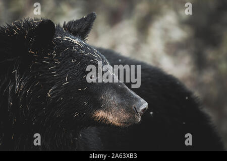 Portrait von Schwarzbär (Ursus americanus) im Yukon Territory - Stockfoto
