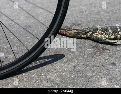 Die varanid Eidechse ist tot auf der Straße. Die varanus Salvator, Wissen als asiatische Wasser Monitor, tot vom Abbruch des Verkehrs auf einer ländlichen Straße in Thai Co - Stockfoto