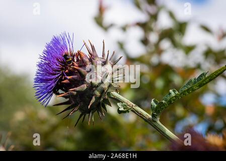 Blume mit Biene auf einer riesigen cardoon Anlage für dekorative Zwecke in Großbritannien angebaut - Stockfoto
