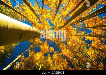 Obere Ansicht des Aspen Bäume im Herbst mit blauem Himmel durch angezeigt - Stockfoto