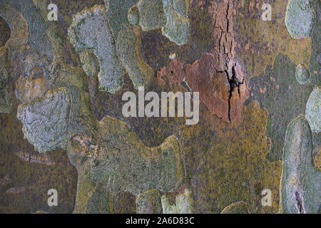 In der Nähe der Rinde der Bergahorn Baum. - Stockfoto
