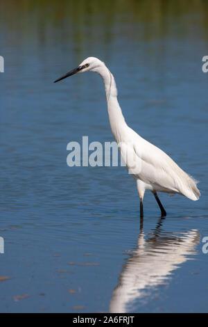 Seidenreiher, Egretta garzetta, es ist eine weiße Vogel mit einem schlanken schwarzen Schnabel, lange, schwarze Beine und, im westlichen Rennen, gelbe Füße. - Stockfoto
