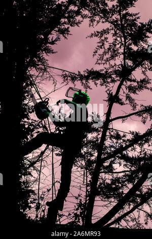 Baum Chirurg in Tanne, Entfernen von Ästen, in Vorbereitung auf die vollständige Entfernung in Hertfordshire - Stockfoto