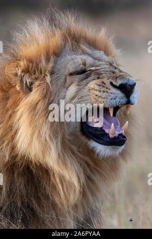 Eine reife männliche Löwe (Panthera leo) im Savuti Region von Botswana, Afrika. - Stockfoto