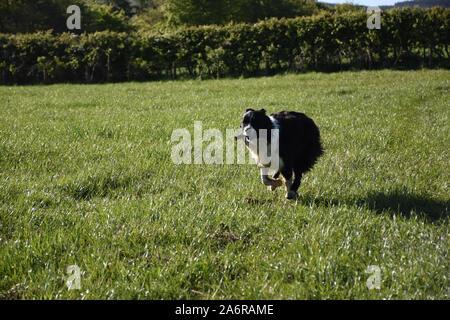 Rasenfläche mit einem Border Collie Hund durch ihn läuft. - Stockfoto