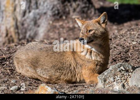 Golden Schakal (Canis aureus) canid native nach Südosteuropa und Asien - Stockfoto