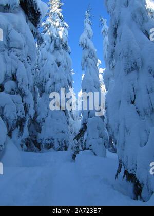 Die schneebedeckten Zweigen auf den Mt. Hemlocks sind so schwer Sie gerade nach unten hängen.