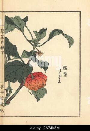 Houzuki oder Chinesische Laterne Pflanze, Physalis alkekengi var. franchetii. Papierkörbe Holzschnitt von Kono Bairei von kusa Bana Hyakushu (Hundert Sorten von Blumen), Tokio, Yamada, 1901. - Stockfoto