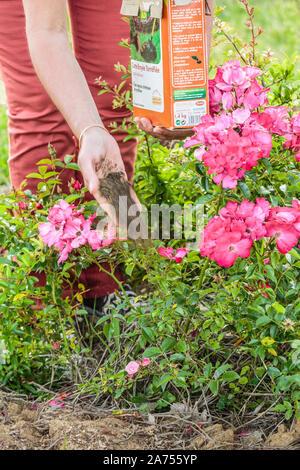 Frau bringen einen Dünger zu einem rosenbusch im Sommer. - Stockfoto