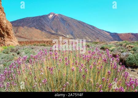 Blick auf den Vulkan El Teide mit typischen Blumen Alheli del Teide (erysimum Scoparium) Im Nationalpark Las Canadas del Teide. Beste Platz zum Vis - Stockfoto