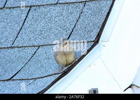 Ein jugendlicher Haus Spatz sitzt auf einem schindeldach mit einem weichen Fokus in Wisconsin, USA - Stockfoto