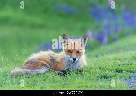 Red Fox (Vulpes vulpes), Sommer, östlichen Vereinigten Staaten, von Dominique Braud/Dembinsky Foto Assoc - Stockfoto