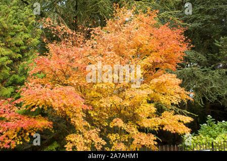 Eine schöne Senkaki Acer palmatum zeigt seine Herbstlaub in Badewanne Botanic Gardens Somerset England Großbritannien - Stockfoto