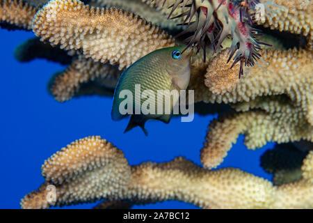 Diesem jugendlichen Hawaiian Gregory, Stegastes marginatus, klemmt an eine Krone von Dornen Seesterne, Acanthaster planci, es aus dem Geweih Coral zu fahren, - Stockfoto