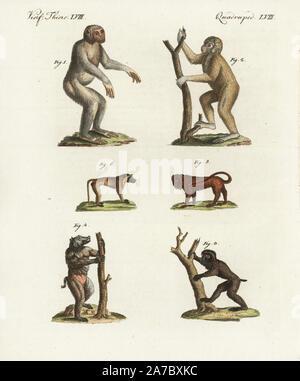 """Schimpanse, Pan troglodytes gefährdet 1, Bornesischen Orang Utan, Pongo pygmaeus gefährdet 2, Guinea Pavian, Papio papio, in der Nähe der bedroht 3, Kap Pavian, Papio ursinus porcarius bedroht 4, Simia seniculus, zentrale grabwächters 5, Papio cynocephalus bedroht 6. Papierkörbe Kupferstich von bertuch's 'Bilderbuch pelz Kinder"""" (Bilderbuch für Kinder), Weimar, 1798. Johann Friedrich Bertuch (1747-1822) war ein deutscher Verleger und Mann der Künste berühmt für seine 12-Band Enzyklopädie für Kinder mit 1.200 illustrierte gravierte Schilder auf natürliche Geschichte, Wissenschaft, Kostüm, Mythologie, - Stockfoto"""