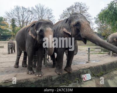Indische Elefanten aus der Nähe warten auf die Fütterung im Gehäuse - Stockfoto