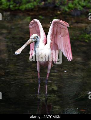 Rosalöffler Vogel in der Nähe im Wasser mit seinen Flügeln verteilt und Anzeigen von seinem Körper, Flügel, Bill, Auge, Umwelt und Umgebung, mit einem nic - Stockfoto
