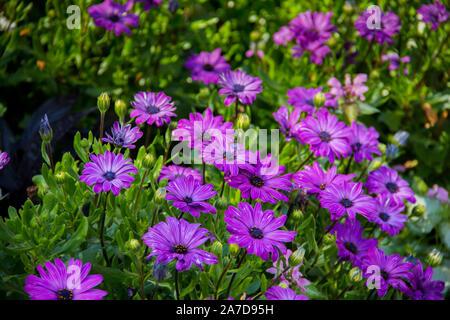 Ein Feld der violetten Blüten in voller Blüte. - Stockfoto