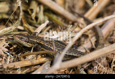 Männliche common/lebendgebärenden Lizard (Zootoca Vivipara) Aalen in Nordengland Pennines.