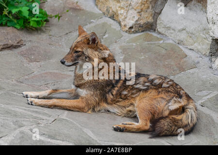 Golden Schakal (Canis aureus), Verlegung auf felsigen Oberfläche - Stockfoto