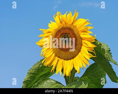 Blühende Sonnenblumen vor blauem Himmel - Stockfoto