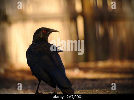 Porträt einer Krähe genommen von hinten. Die Krähe ist auf der rechten Schulter. Stellen Sie die weichen warmen Hintergrund. - Stockfoto