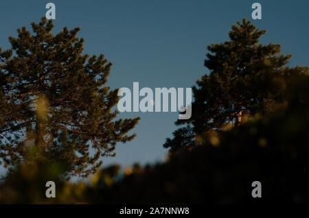 Low Angle View der Mond bei Sonnenuntergang durch die Kiefern im Rahmen - Stockfoto