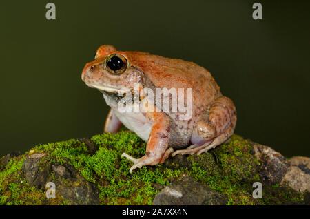 Grabende Frosch, Vasai, Maharashtra, Indien - Stockfoto