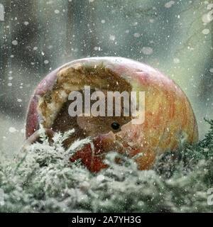Eine Ernte Maus Lugt im Inneren eines Apple während es schneit (Micromys Minutus) - Stockfoto