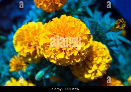 Calahonda, Provinz Granada, Spanien: Zierpflanzen Bündel von Ringelblume Blumen mit merkwürdigen Farben an der Costa Tropical von Granada Provinz. - Stockfoto