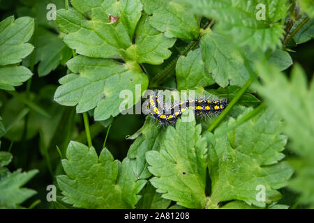 Scarlet Tiger Moth Caterpillar auf Blatt im Frühling - Stockfoto