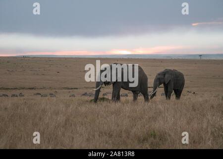 Afrikanischen Busch Elefanten füttern auf Gräsern bei Sonnenuntergang in Masai Mara Reserve, Kenia