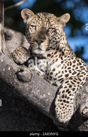 Schönen männlichen Leopard (panthera pardus) ruhen in Wurst Baum in herrlichem Sonnenschein. Moremi NP (2. Brücke) - Stockfoto
